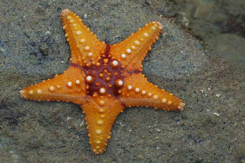 Морска ѕвезда