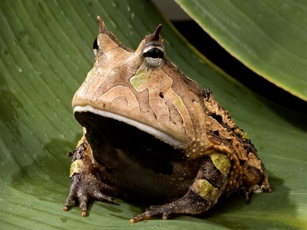 Басна за жабата и волот