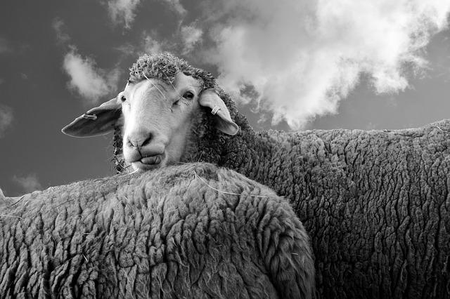 Простиот човек размислува како овца